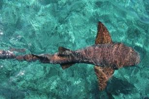 Belize-Ambergris-Hol-Chan-Tiburon